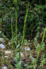 Chinese Mustard (tinlight7) Tags: mustard chinesemustard mustardgreens alaarcha kyrgyzstan taxonomy:kingdom=plantae plantae taxonomy:superphylum=tracheophyta tracheophyta taxonomy:phylum=magnoliophyta magnoliophyta taxonomy:class=magnoliopsida magnoliopsida taxonomy:order=brassicales brassicales taxonomy:family=brassicaceae brassicaceae taxonomy:genus=brassica brassica taxonomy:species=juncea taxonomy:binomial=brassicajuncea indianmustard leafmustard brassicajuncea brownmustard acelgachina brajun sarson moutardedinde taxonomy:common=indianmustard taxonomy:common=leafmustard taxonomy:common=chinesemustard taxonomy:common=mustardgreens taxonomy:common=brownmustard taxonomy:common=acelgachina taxonomy:common=brajun taxonomy:common=sarson taxonomy:common=moutardedinde