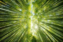 look up (ThomasMueller.Photography) Tags: asia asien bamboo bambus baum forest green grn japan japanese landscape landschaft natur nature nihon nippon reisen sehenswrdigkeit sight sonne sonnenschein sun sunrays travel tree wald  kytoshi kytofu jp