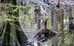Intruder Nose Down (Gabriel FW Koch (fb.me/FWKochPhotography on FB)) Tags: otter animal birds herons egrets bittern water swamp wild wildlife tree cypress dof eos bokeh canon 100mm shade splash reflections lseries wet fur slick