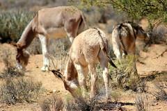 Wild Burro of Nevada (Jenna Stirling) Tags: wildburro wild burro wildlife equine donkey nevada america animal nature desert feral equid equus