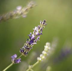 Lavender (Karen McQuilkin) Tags: lavender garden purple relax flowers scent karenmcquilkin