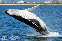 Delightful calf (Sea World Whale Watch) Tags: seaworldwhalewatch seaworldwhalewatching seaworld sea seaworldcruises humpbackwhale humpbackwhales humpback humpbacktailfluke humpbackwhaletail whalewatching whalewatchinggoldcoast whalewatchingtoursaustralia whaletail whale breach breachingwhale whalebreach breaching calf calves headlunge headslap headrise head goldcoast goldcoastwhalewatch goldcoastwhalewatching goldcoastwhalewatchingtours goldcoastskyline splash splashing throat grooves belly