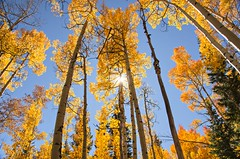 Stand Tall (catmccray) Tags: aspentrees colorado westchicagocreek hike autumn fall yellowleaves nature bluesky september fallcolors