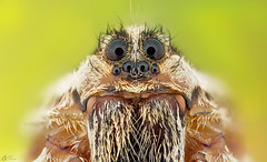 Wolf Spider (Can Tuner) Tags: can cantuner canon6d cantuncer canon closer macro makro macros macrophotography micro mpe65mm mikro mpe65 makros izmir tuner turkey trkiye turkiye tuncer wolf wolfspider stack stacking studio spider