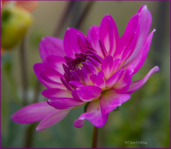 purple-dahlia (loobyloo55) Tags: dahlia flower canon flora purple floraandfauna canon7d