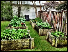Vege Garden (chimaeraphoto) Tags: garden tomato beds hose potato sunflower basil parsley chives marigold beetroot gardner bokchoy vege