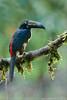 Collared Aracari (Raymond J Barlow) Tags: travel red bird toucan nikon costarica wildlife adventure collared d300 aracari 200400vr raymondbarlowtours