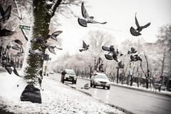 Winter (Brînzei) Tags: street winter sky snow motion birds animals flying bokeh candid pigeons m42 murky manualfocus ★ tomioka bucurești canoneos400d autoyashinondx50mmf14