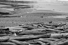 9532. BIG Logpile Dog (eyepiphany) Tags: beach oregon logs manzanita blackandwhitephotography oldgrowth smugglerscove oswaldstatepark beachlogs landscapephotography oregonbeaches manzanitaoregon shortsandsbeach summerlife shortsandbeach oregontourism surfingspot lonedog bestplacestosurf bestplacestosurfinoregon oregonbeachtowns hotsurfingspots