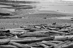 9532. BIG Logpile Dog (eyepiphany) Tags: beach oregon logs manzanita blackandwhitephotography oldgrowth smugglerscove oswaldstatepark beachlogs landscapephotography oregonbeaches manzanitaoregon shortsandsbeach summerlife shortsandbeach oregontourism surfingspot lonedog bestplacestosurf bestplacestosurfinoregon oregonbeachtowns hotsurfingspots