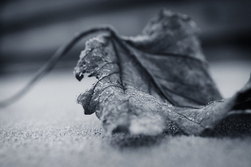 One Chilly Morning (orbed) winter leaf frost monotone hmm