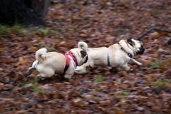 it's a pug on the run (TheOtherPerspective78) Tags: vienna wien playing cute grass leaves canon puppy play action meadow wiese pug running run gras playtime bltter prater spiel laufen spielen mops carlino herzig welpe welpen lieb ss ef100400l theotherperspective78