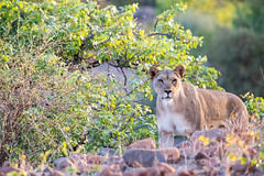 "Lioness in Etendeka Tablelands, Namibia • <a style=""font-size:0.8em;"" href=""https://www.flickr.com/photos/21540187@N07/8292852396/"" target=""_blank"">View on Flickr</a>"