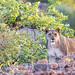 "Lioness in Etendeka Tablelands, Namibia • <a style=""font-size:0.8em;"" href=""https://www.flickr.com/photos/21540187@N07/8292852396/"" target=""_blank"">View on Flickr</a>"