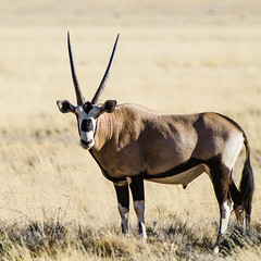 "Gemsbok in Namib Rand Nature Reserve, Namibia • <a style=""font-size:0.8em;"" href=""https://www.flickr.com/photos/21540187@N07/8292873147/"" target=""_blank"">View on Flickr</a>"