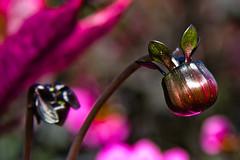 CU768 Young Bud (listentoreason) Tags: usa plant flower nature america canon geotagged unitedstates pennsylvania geocoded favorites places longwoodgardens magnoliophyta angiosperm score35 ef28135mmf3556isusm plantpart