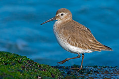 Dunlin (Brian E Kushner) Tags: park new city light lighthouse beach birds animals ed island nikon long state wildlife jetty nj 300mm ii jersey inlet nikkor barnegat vr dunlin calidrisalpina afs d800 birdwatcher f28g tc20 nikond800 bkushner brianekushner tc20eiii afsnikkor300mmf28gedvrii
