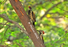 Follow Me (McGun) Tags: bird twins woodpecker chennai teleconverter 2xtc 70200mmf28 nikond80 kottivakkam