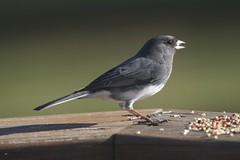 IMG_3605 (Scott Alan McClurg) Tags: wild male bird wildlife junco wing feathers seed neighborhood eat perch feed songbird snowbird
