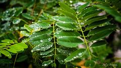 Summer rain drops - Valparaiso, Chile. Dec.2012 (PmunozR Photography) Tags: chile naturaleza macro nature beauty rain 35mm valparaiso drops lluvia fuji gotas fujifilm simple xe1
