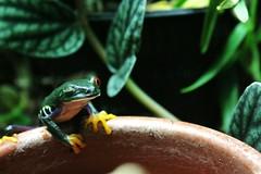 Frog wink (ManuBrossard) Tags: blue red wild plants costa green nature animal yellow rainforest ground rica frog jungle eyed wink treefrog agalychnis callidryas