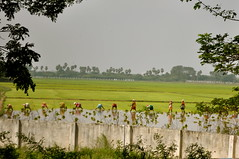 Rice Paddy (Victoria Lea B) Tags: india work women rice labor agriculture tamilnadu