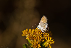 Tiny dancer (Photosuze) Tags: california flowers autumn nature goldenrod butterflies insects tiny smallest pygmies westernpygmyblue bluebutterflies brephidiumexile