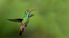 Rufous-tailed Hummingbird in Flight (Raymond J Barlow) Tags: red green bird art nature nikon costarica hummingbird wildlife adventure avian workshops birdinflight d300 200400vr raymondbarlowtours