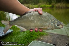 Bream - Abramis brama (puffinbytes) Tags: greatbritain england animals unitedkingdom carps bream essex animalia minnows cyprinidae cypriniformes chordates chordata actinopterygii rayfinnedfishes abramis abramisbrama taxonomy:kingdom=animalia taxonomy:phylum=chordata taxonomy:class=actinopterygii taxonomy:family=cyprinidae taxonomy:order=cypriniformes leuciscinae spb:lid=00an spb:country=uk spb:id=01f5 spb:species=abramisbrama spb:pty=f taxonomy:subfamily=leuciscinae taxonomy:genus=abramis taxonomy:species=brama taxonomy:binomial=abramisbrama taxonomy:common=bream spb:pid=0p21