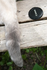 017 (piaktw) Tags: camera cat canon garden kitten tail britishshorthair lid colourpoint ztina luddkolts bluetortietabby