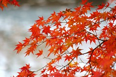 (nobuflickr) Tags: nature japan kyoto autumncolors       thekyotobotanicalgarden japan 20121127dsc03088