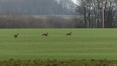 2/365 - Projet 365 (2013) - Deer fleeing (Louis Engival (Pentax only)) Tags: france project photography photo escape pentax champs fr roe chevreuil sauvage harde fuite project365 365days projet365 pentaxlife galops smcpentaxda300mmf4edifsdm aisnepicardie louisengival pentaxricoh pentaxk5iis k5iis saintquentinvermand