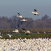 Snow Geese in rice country