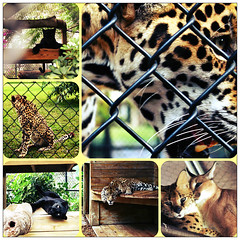 Pawed © (Blackcatatheart) Tags: wild cats animal bar cat zoo bars kitten large kittens cage exotic caged captive captivity enclosure enclosed cages caging