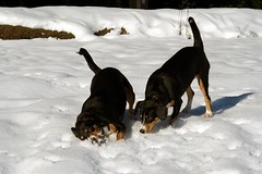 Sage and Dala (Thaddz) Tags: dog snow puppy northcascades entlebucher bakerlake entlebuchermountaindog