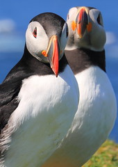 'ere, are you looking at my bird? (PIX SW) Tags: birds scotland puffin puffins mull staffa westofmull