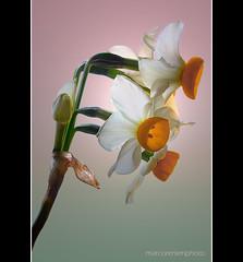 Narciso (marcorenieri) Tags: