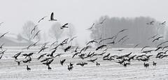 Ganzen in de sneeuw (NLHank) Tags: winter holland netherlands dutch birds canon landscape eos wildlife sneeuw nederland vogels ganzen 7d 70200 wanneperveen overijssel landschap eos7d
