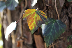 Ivy Leaves (gripspix (OFF)) Tags: winter leaves ivy bltter giftig efeu heilpflanze immergrn medicalplant poisnous 20130123 hdereahelix