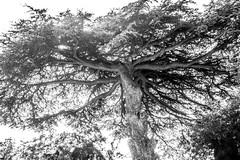 octopus tree (den) Tags: tree branches olympus cedar arbre ramure cdre cedrus em5