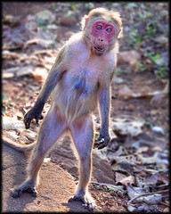 dsc 20130203 (beetle_0042000) Tags: india monkey asia kerala nelliyampathy sonynex