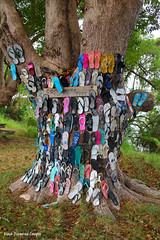 The Community Thong Tree, Chatsworth Island, Clarence River Valley, North Coast, NSW, Australia (Black Diamond Images) Tags: australia nsw flipflops northcoast harwood clarenceriver jandles thongtree harwoodisland chatsworthisland clarencerivervalley communitythongtree thethongtree thethongtreeaustralia