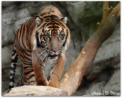 Besar the Sumatran Tiger (ctofcsco) Tags: usa canon aquarium colorado downtown unitedstates denver explore 70200mm 50d specanimal allofnatureswildlifelevel1 the~wonders~of~nature