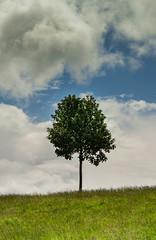 Calton Hill Tree (el_boberino) Tags: nikon nikon3200 d3200 caltonhill calton edinburgh scotland tree solitude solitary landscape beautiful isolation grass outdoor sky clouds summer