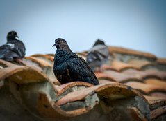 Pigeon Sitting At The Fort (H.B. Sim) Tags: castillosanfelipedebarajas cartagena colombia southamerica pigeon pigeons roof outdoor outdoors outside hbsim nikond3300 nikon d3300 depthoffield depth dof colour color colours colors tamron18200mm tamron animal animals bird birds flyinganimals polychrome subject