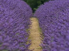 Lovely Lavender (Chris Sweet 85) Tags: lavender mayfieldlavander nature nikon nikon7100