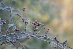 ckuchem-5679 (christine_kuchem) Tags: eiskristalle frost garten hagebutte kristalle nahrung naturgarten rosen samenstnde stauden vogelnahrung vogelschutz vgel wildgarten winter wintergarten winternahrung naturbelassen naturnah reif schnee berzogen