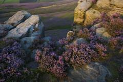 Heather and gritstone (Keartona) Tags: gritstone heather purple flowering calluna vulgaris rocks rocky landscape glossop wormstones derbyshire highpeak england moors rugged view abstract