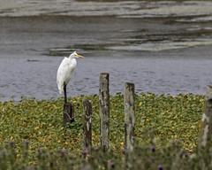 Egret at Point Reyes (lennycarl08) Tags: egret pointreyesnationalseashore pointreyes marincounty california northerncalifornia goldengatenationalrecreationarea
