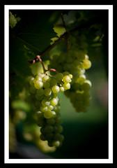 On the grapevine II (derek_michalski) Tags: grapevine colour nikon grapes wine poland europe naturallight nature green